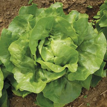 Organic Non-GMO Optima Lettuce Pelleted.jpg