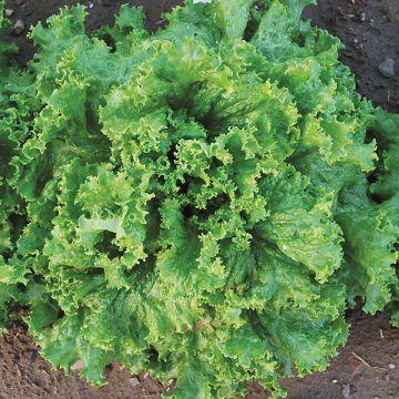 Organic Non-GMO Waldmann's Lettuce Pelleted.jpg