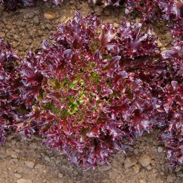 Burgandy Lettuce - Pelleted