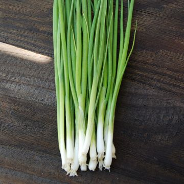 Evergreen Bunching Onion