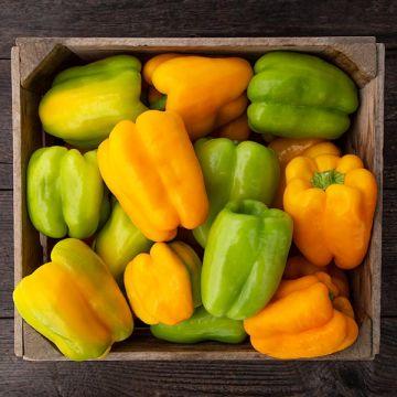 Flavorburst F1 Sweet Pepper