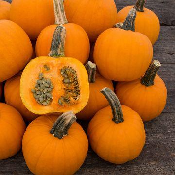Pie-Pita F1 Hulless Pumpkin
