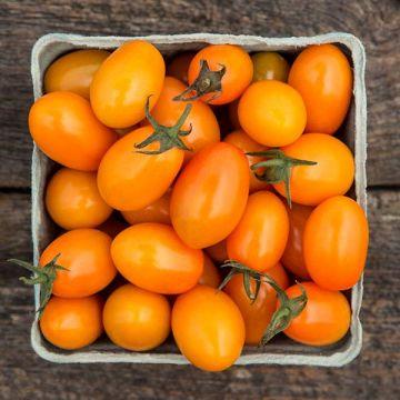 Sungrazer F1 Cherry Tomato