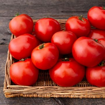 Tasti Lee F1 Tomato