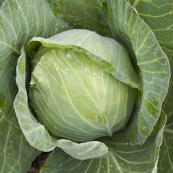 Organic Non Gmo Golden Acre Cabbage