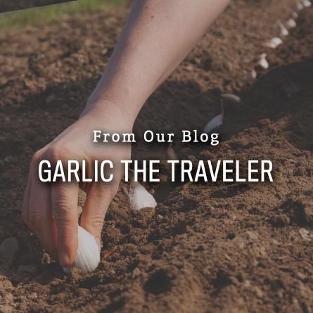 Garlic the Traveler from High Mowing Organic Seeds blog