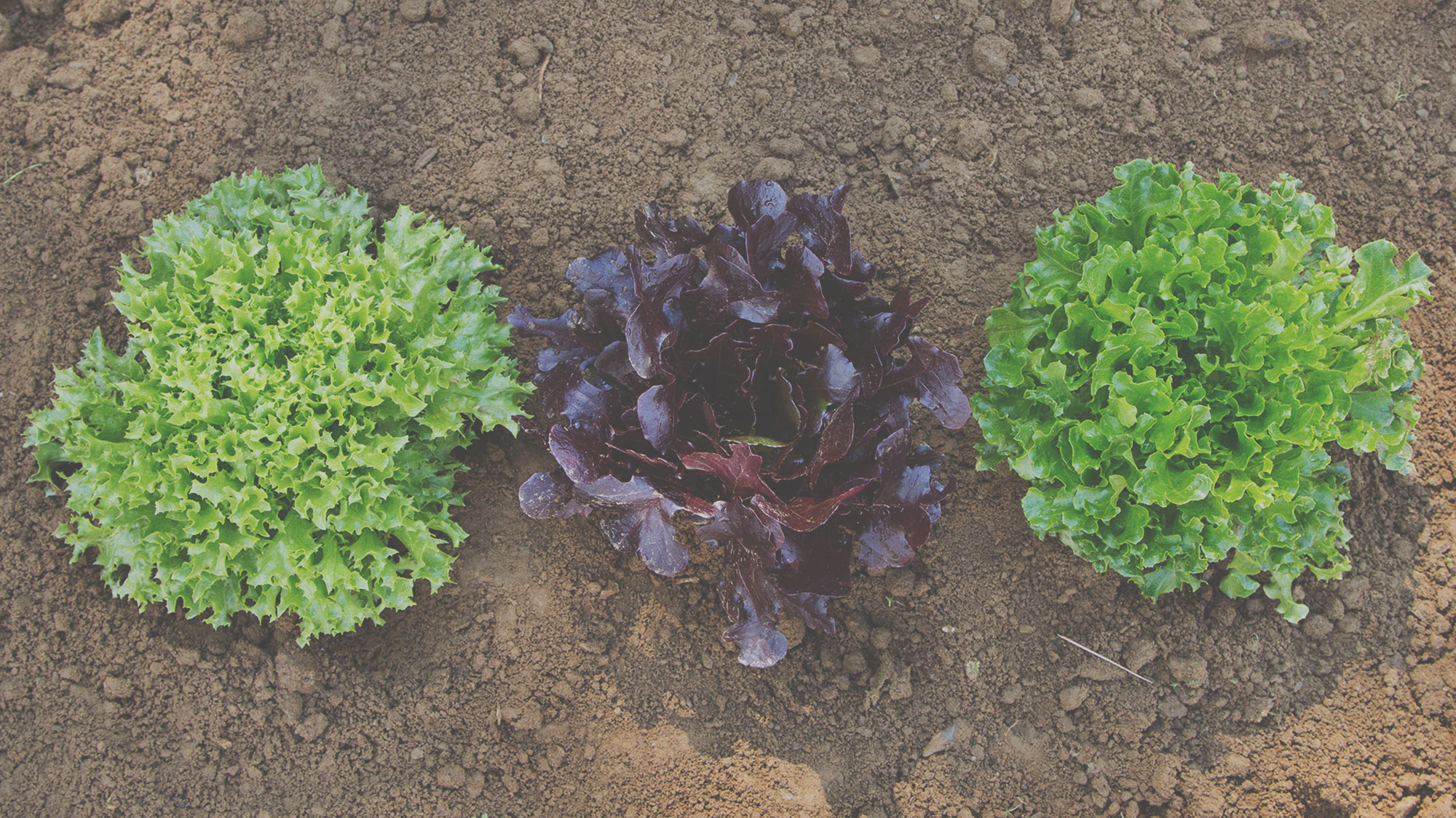 Organic one cut lettuce seeds