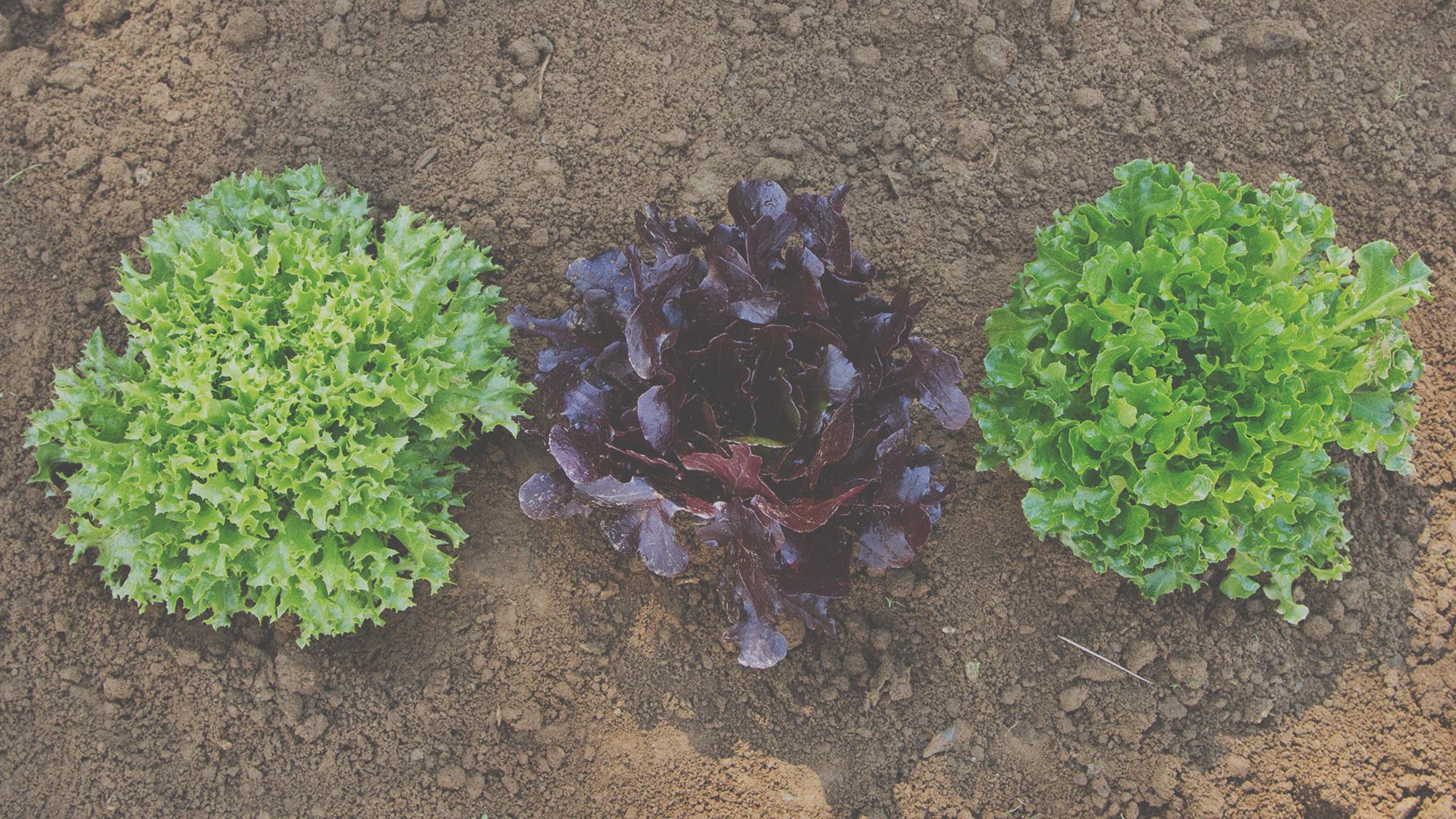 Organic one cut lettuce seeds