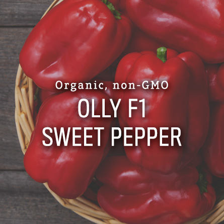 Organic Non-GMO Olly F1 Sweet Pepper from High Mowing Organic Seeds