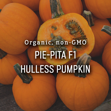 Organic Non-GMO Pie-Pita F1 Hulless Pumpkin from High Mowing Organic Seeds