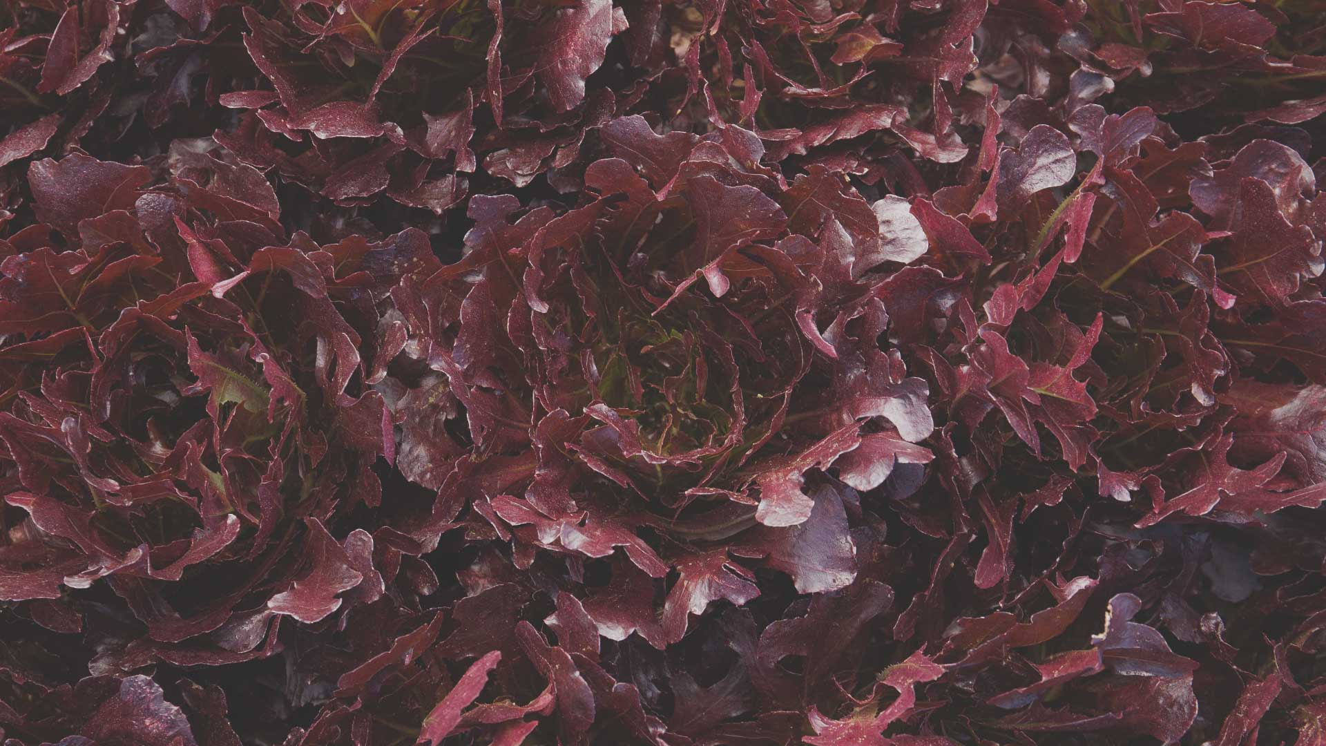 Organic Non-GMO Buckley Lettuce Spinach from High Mowing Organic Seeds