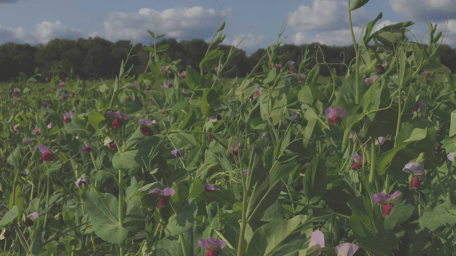 Organic Non-GMO Cover Crops from High Mowing Organic Seeds