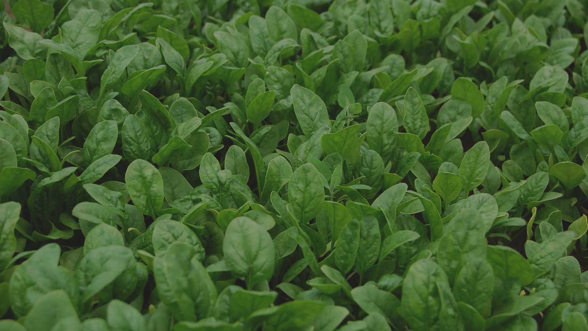 Organic Non-GMO Giant Winter Spinach from High Mowing Organic Seeds