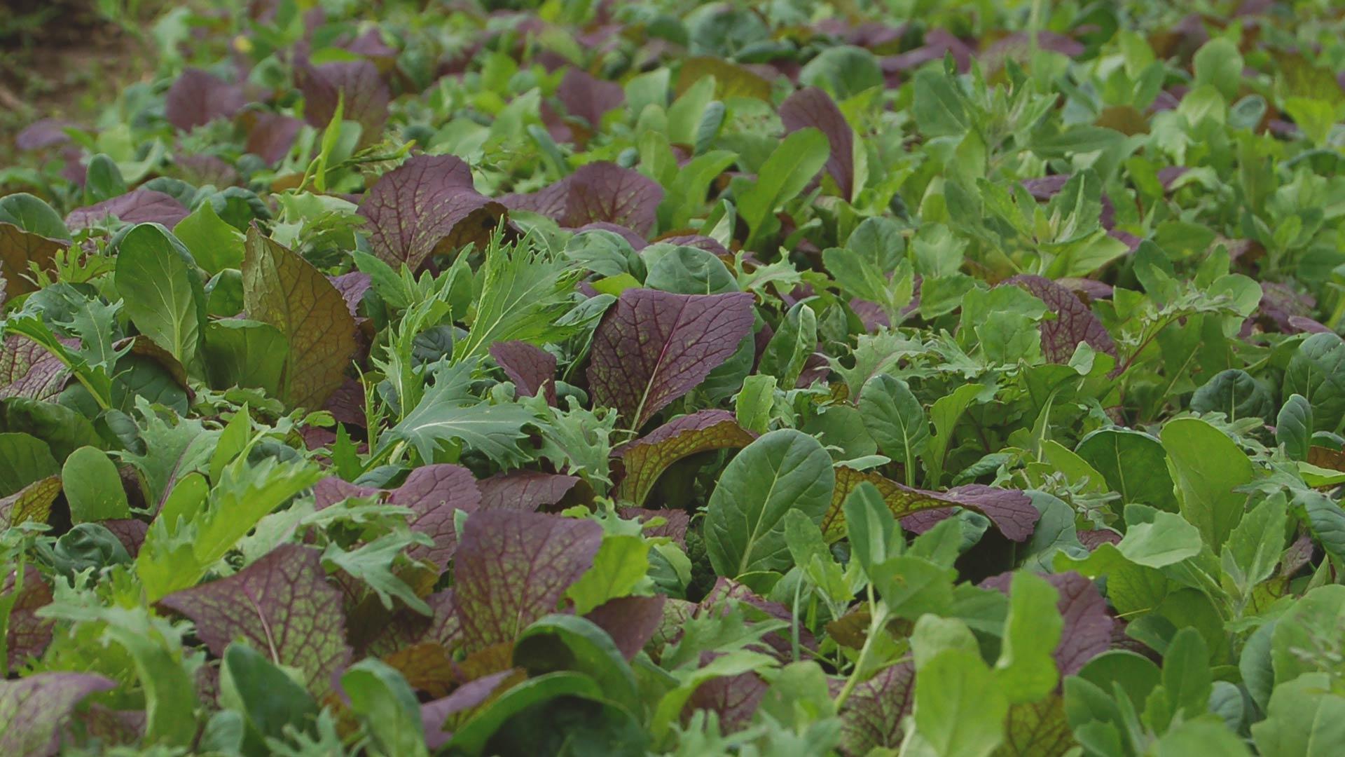 Organic Hot Shot Mix from High Mowing Organic Seeds
