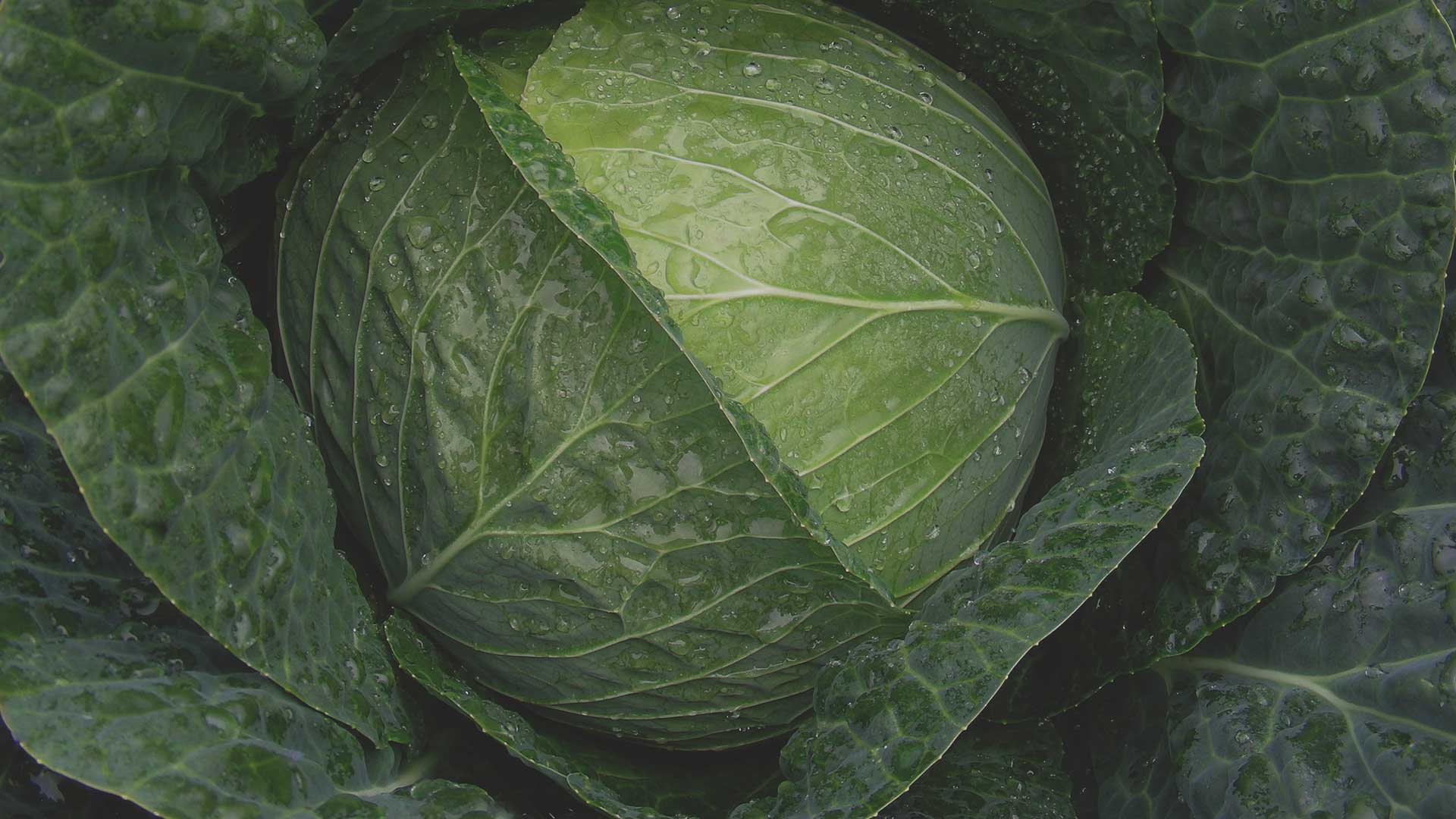 Organic Non-GMO Stanton F1 Cabbage from High Mowing Organic Seeds