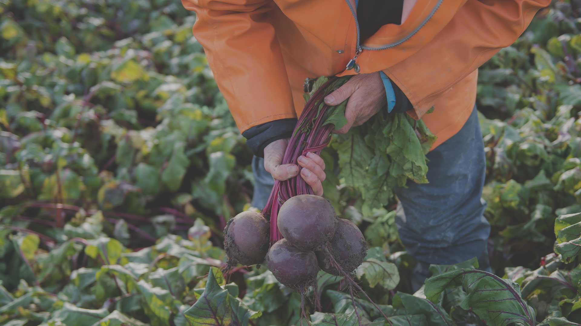 Organic Non-GMO Subeto F1 Beet from High Mowing Organic Seeds