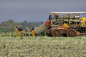 Brussels Sprout Harvest in California