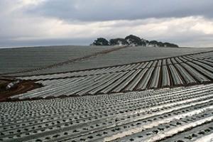 California plasticulture strawberries