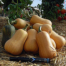 Organic Winter Squash for Fall harvest