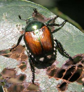 Controlling Japanese Beetles in the Home Garden | High ...