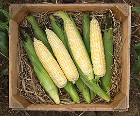 Organic My Fair Lady Corn