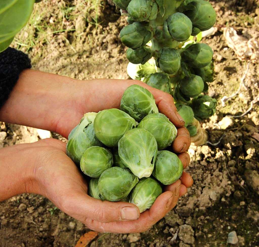 Marvelous Storing Brussel Sprouts Part - 8: Marvelous Storing Brussel Sprouts Idea