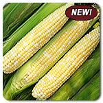 Organic Allure F1 Corn