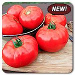 Organic Caiman F1 Tomato