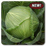 Organic Drago F1 Cabbage Seeds