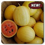 Organic Golden Midget Watermelon