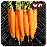 Organic Miami F1 Carrot