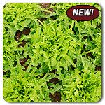 Organic Regal Oak Lettuce