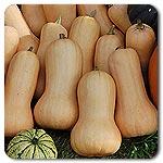 Organic Seeds - Nutterbutter Winter Squash