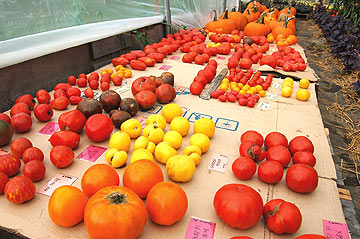 Organic Tomatoes Trialed at High Mowing Organic Seeds