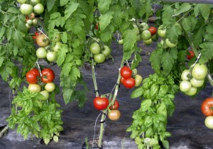 Paul's grafted tomatoes