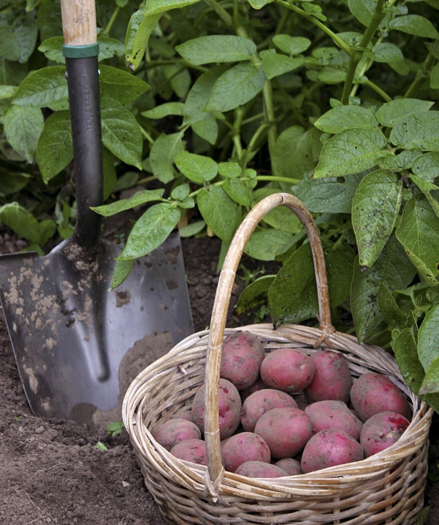 plentiful potatoes selecting the right varieties for your needs