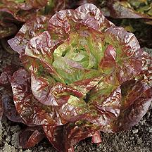 Roxy Lettuce