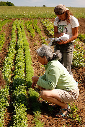 Examining lettuce in the fields