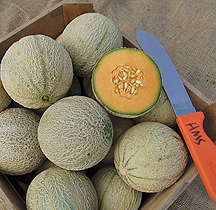 Sivan F1 Melon