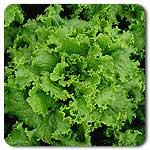 Organic Waldmann's Lettuce