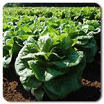 Organic Winter Density Lettuce