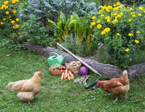 How to Grow Your Own Organic, Non-GMO Chicken Feed! | High