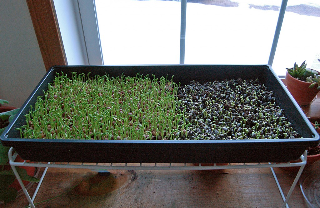 Pea And Sunflower Shoots Growing On The Windowsill