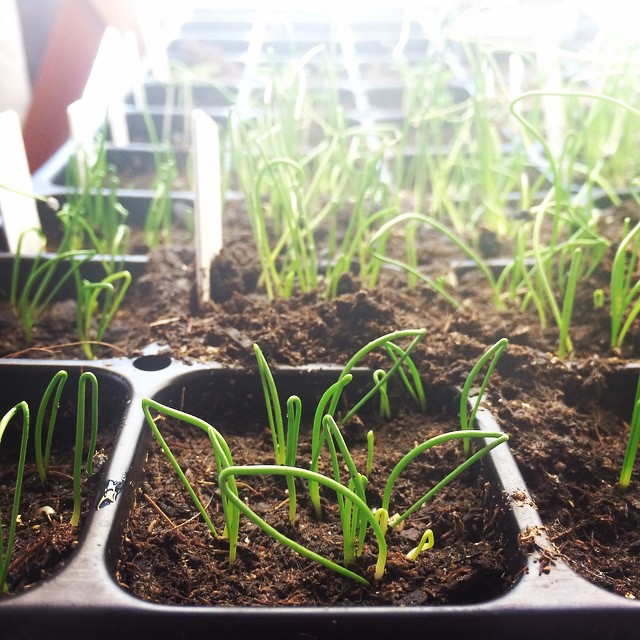 Getting Started Growing Onions Amp Leeks From Seed High