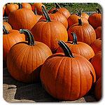 Organic Seeds - Jack Straw Pumpkin