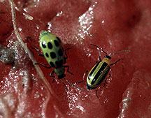 Striped and Spotted Cucumber Beetle