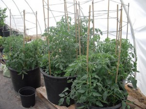 Trellising Your Organic Tomatoes High Mowing Organic Non Gmo Seeds